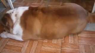 Как Просыпается Английский Бульдог   Собака Засыпака!   барбоскины плейлист Смешные приколы с собака