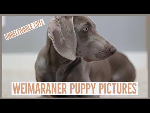 TOP 2 Secrets To Weimaraner Puppy Photography
