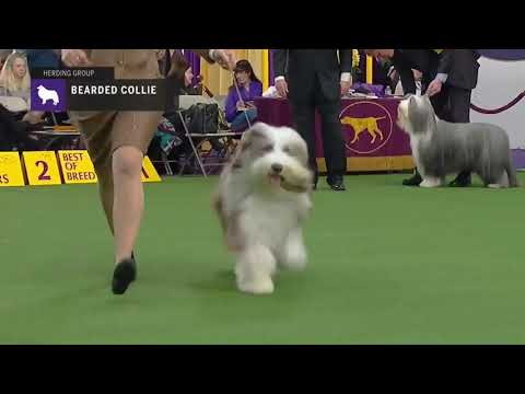 Bearded Collies | Breed Judging 2019