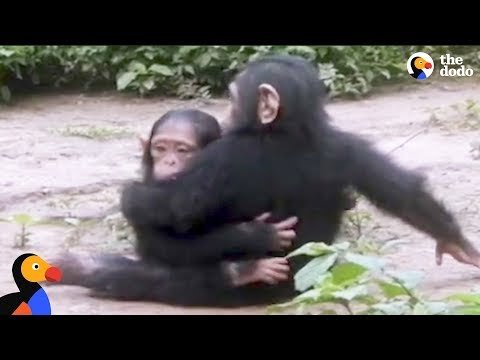 Baby Chimp Rescued from Chains is Finally Happy and Free | The Dodo