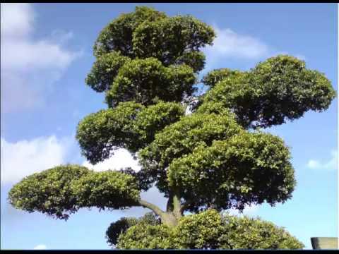 Bonsai Boom Verzorgen : Bonsai: : leer hoe jij je bonsai boom kunt kweken verzorgen en
