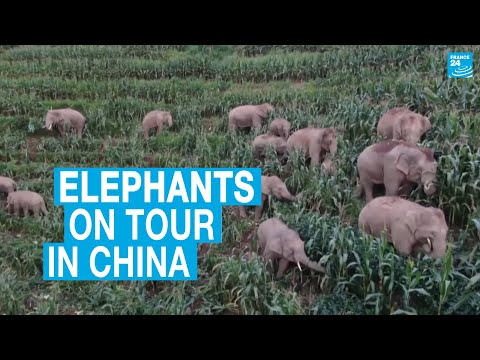 Elephants on tour in China guzzle crops and wreak havoc