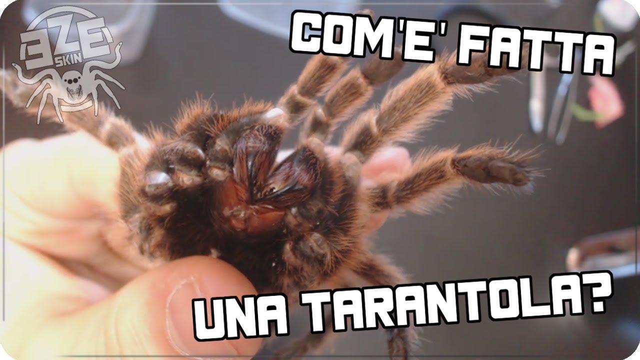 COM\'E\' FATTA UNA TARANTOLA? : Anatomia del ragno - [ZOO-SKIN] - YouTube