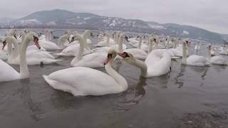 Angry swan attacks in slow motion