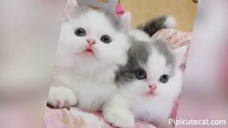 Funny Cats|Super cute short-legged cat baby|Top 100|#004