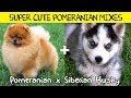 Super Cute Pomeranian Mixes