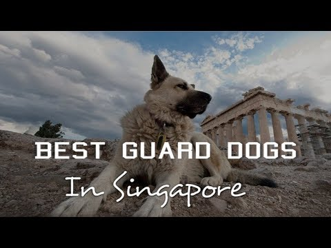 Top 10 Guard Dogs in Singapore