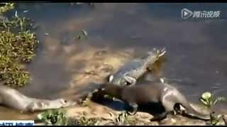 Шок! Выдра ест крокодила.