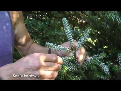 Korean Fir - Abies Koreana 'Horstmann Silberlocke' American Conifer Society