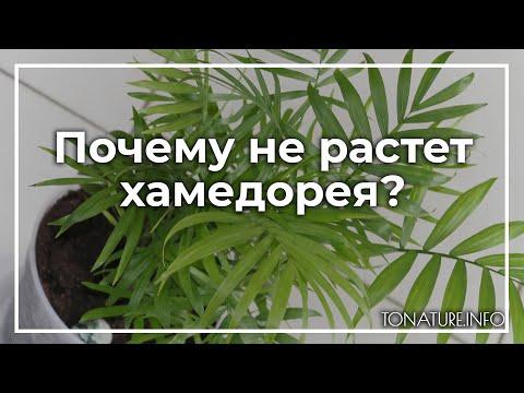 Почему не растет хамедорея? | toNature.Info