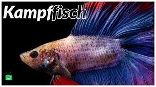 KAMPFFISCH BETTA | Wissenswertes | GarnelenTv