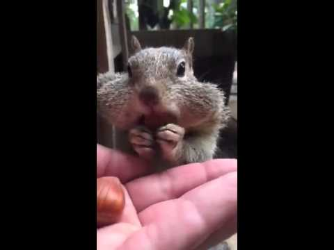 Squirrel Funny! Eats Nuts Out Of Girls Hand & Stuffs His Cheeks!