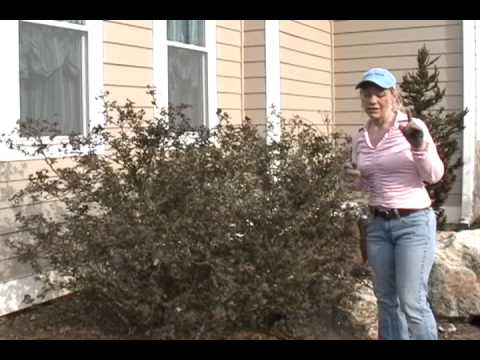 Pruning Huge Knock Out Roses
