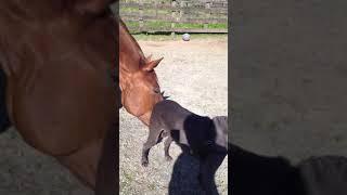 Weimaraner Loves His Horse.