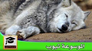 معلومات تعرف كيف ينام الذئب