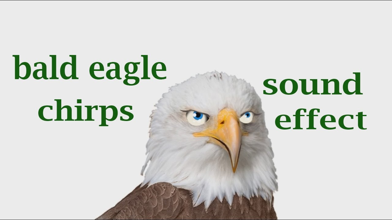 the animal sounds bald eagle chirps sound effect animation youtube. Black Bedroom Furniture Sets. Home Design Ideas