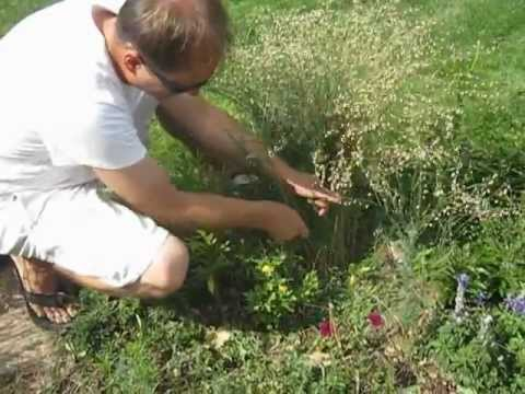 How to Harvest Flax Seed From Your Own Garden