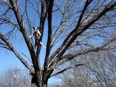 Toby the Tree Climbing Jack Russell at home