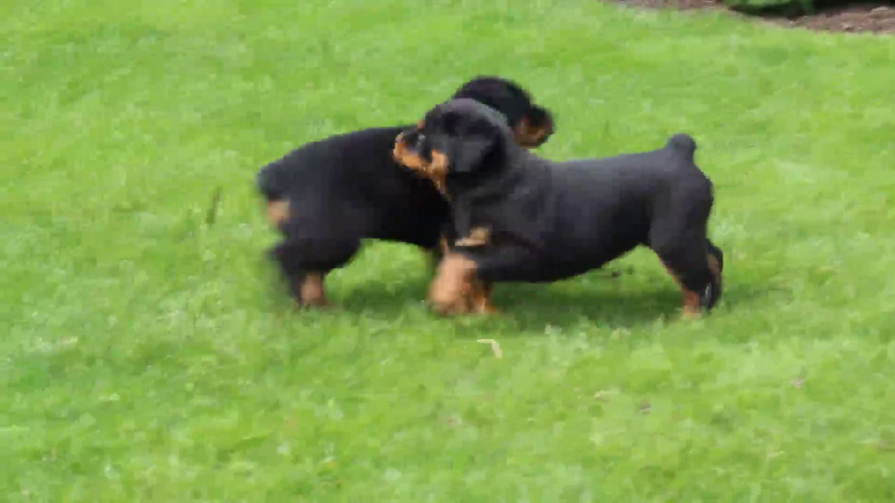 Rottweiler Puppies For Sale Youtube