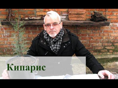 Кипарис вечнозелёный Размножение и выращивание в прохладном климате