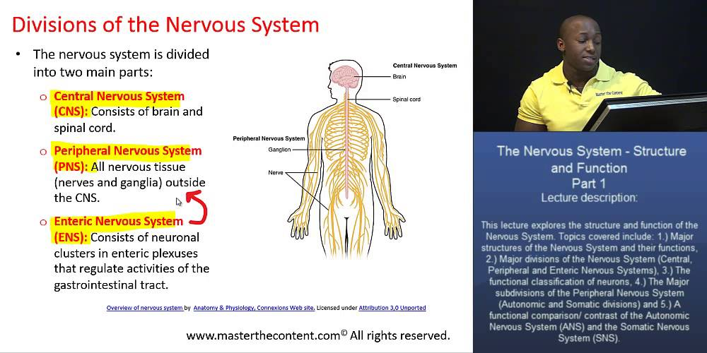 Pcat The Nervous System Part 1 Major Divisions Of The Nervous