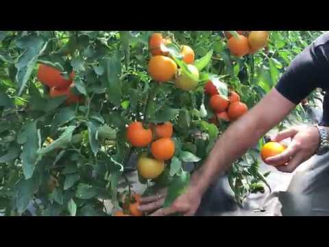 Желтый томат TI 169