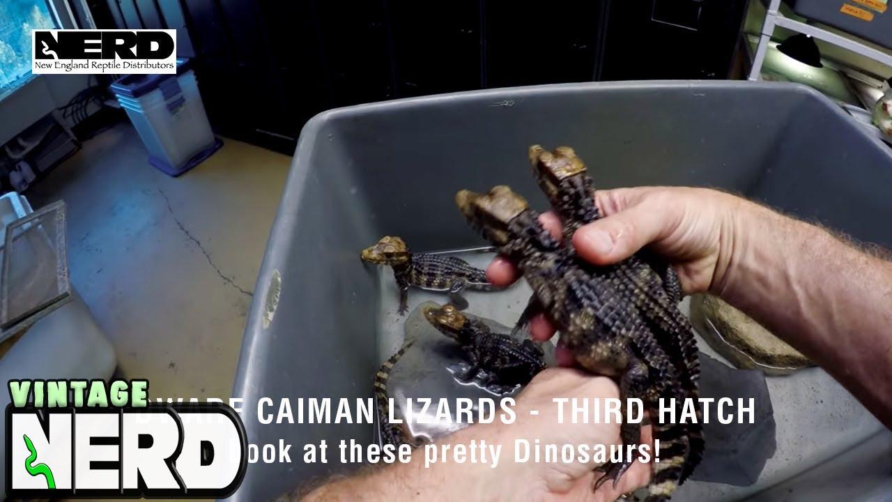 Dwarf Caiman Lizards - Third Hatch - Look at these pretty Dinosaurs!