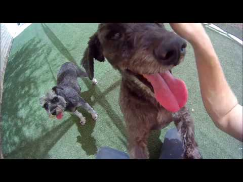 ADOPTED!!!   Carl - Poodle/Schnauzer Mix For Adoption