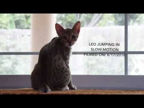 Savannah Cats: Leo Jumping In Fast Motion EP# 1