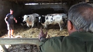 Video Belgian Blue can be the alternative beef breed download MP3, 3GP, MP4, WEBM, AVI, FLV Agustus 2017