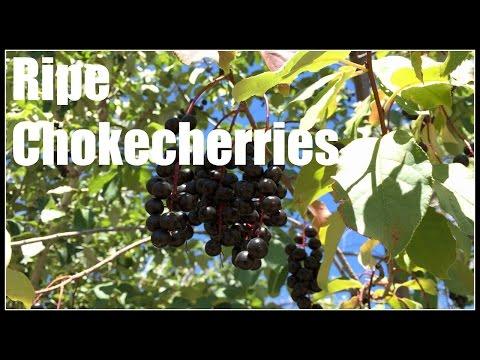 Chokecherry (Prunus virginiana) Ripe Fruits - Ninja Gardening - Episode 50