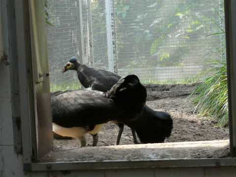 A pair of maleo