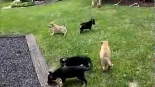 German Shepherd Mix Puppies For Sale