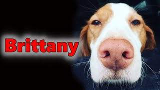 Brittany Spaniel Dog Breed  Detox Your Dog
