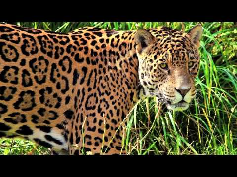 Clouded Leopard, Snow Leopard, and Jaguar Sounds - YouTube