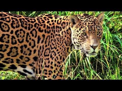 Clouded Leopard, Snow Leopard, and Jaguar Sounds