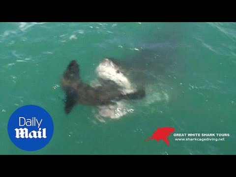 Jaw-dropping Moment A Great White Shark Catches A Seal