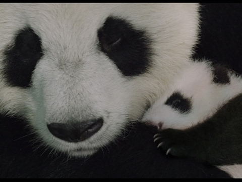 Wildlife doc 'Born in China' takes viewers on animal adventure