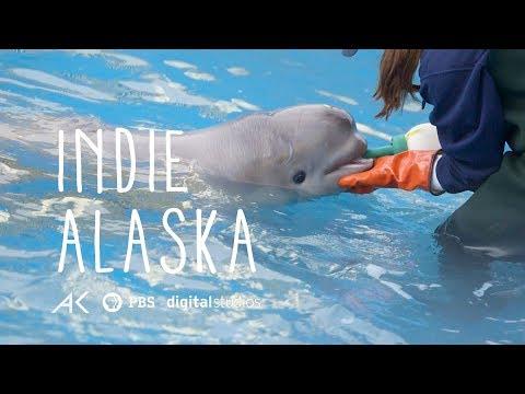 First Rehabilitated Cook Inlet Beluga Calf | INDIE ALASKA