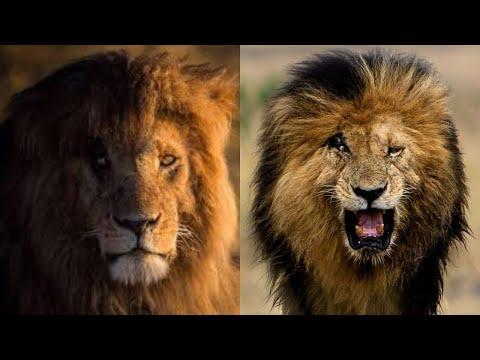 Download سكارفيس القصة الحقيقية لأشهر أسد على وجه الأرض / Scarface The true story of the most famous lion