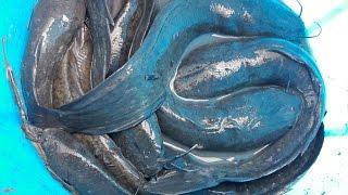 Mò Cá Bắt Được Ổ Cá Trê Khủng    Catch the big fish
