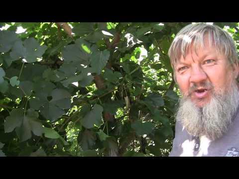 Шелковица на Южном Урале  от виноградаря Николая Сергеева г. Южноуральск