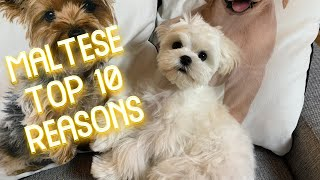 TOP 10 REASONS WHY TO CHOOSE A MALTESE PUPPY