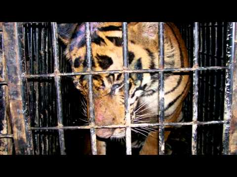 Tigers and Illegal Wildlife Trade