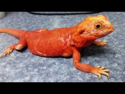 Red Silk Bearded Dragon