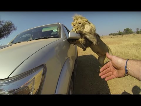 Thumbnail: Lions Attack Car Full Of People