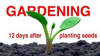 12 Days After Seeding - FOOD GARDENING Part 2