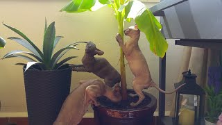 Funny KITTENS  CACTUS& BANANA Tree  Don SPHYNX