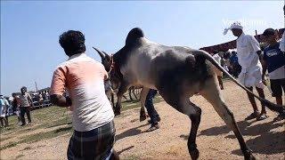 Kangayam bull / Kangeyam bull - VellaKovil Stud bull Show 24/12/2017