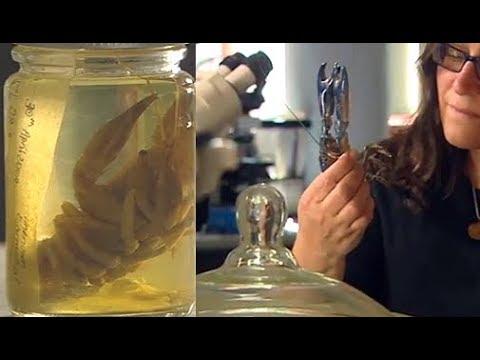 Australian Freshwater Crayfish - ABC Catalyst